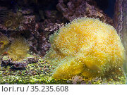 Коралл Эуфилия Молоточковая ( англ. Branching Hammer Coral ) Стоковое фото, фотограф Галина Савина / Фотобанк Лори