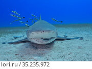 Lemon shark (Negaprion brevirostris) on sea floor, Whitefin sharksucker (Echeneis neucratoides) remora cleaning shark's mouth and teeth, group of remoras in background. Bahamas. Стоковое фото, фотограф Pascal Kobeh / Nature Picture Library / Фотобанк Лори