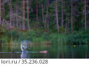 Beaver (Castor fiber) slapping its tail on water as an alarm to warn beavers, Malingsbo-Kloten Nature Reserve, Vastmanland, Sweden. Стоковое фото, фотограф Staffan Widstrand / Nature Picture Library / Фотобанк Лори