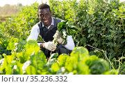 Man gathering in crops of leaf beets. Стоковое фото, фотограф Яков Филимонов / Фотобанк Лори