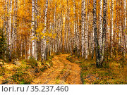 Dirt road in autumn birch forest sunny day. Стоковое фото, фотограф Акиньшин Владимир / Фотобанк Лори