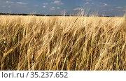 Wheat field, landscape on rye land. Harvesting time. Windy weather. Стоковое видео, видеограф Кекяляйнен Андрей / Фотобанк Лори
