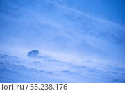 RF - Mountain hare, (Lepus timidus), on snowy hillside in winter,... Стоковое фото, фотограф SCOTLAND: The Big Picture / Nature Picture Library / Фотобанк Лори