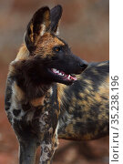 RF - African Wild Dog / Painted Dog, (Lycaon pictus) Zimanga Private... Стоковое фото, фотограф Staffan Widstrand / Nature Picture Library / Фотобанк Лори