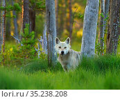 RF - European Wolf (Canis lupus) amongst taiga forest trees in summer... Стоковое фото, фотограф Andy Rouse / Nature Picture Library / Фотобанк Лори