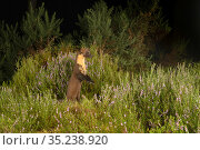 Pine marten (Martes martes) standing on hind legs to see over Heather, at night. Black Isle, Highlands, Scotland, UK. August. Camera trap image. Стоковое фото, фотограф Terry Whittaker / Nature Picture Library / Фотобанк Лори