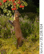 Pine marten (Martes martes) standing on hind legs to feed on Rowan (Sorbus aucuparia) berries. Black Isle, Highlands, Scotland, UK. August. Camera trap image. Стоковое фото, фотограф Terry Whittaker / Nature Picture Library / Фотобанк Лори