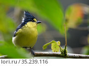 Taiwan yellow tit ( Machlolophus holsti ) framed by leaves, Taiwan. Endemic. Стоковое фото, фотограф Fabian Muhlberger / Wild Wonders of China / Nature Picture Library / Фотобанк Лори