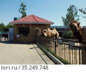 Верблюды. Сафари-парк «Тайган» (2015 год). Редакционное фото, фотограф Татьяна Т / Фотобанк Лори