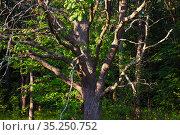 Дубовая роща в Рязанской области. Стоковое фото, фотограф Михаил Куликов / Фотобанк Лори