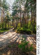 Сосновый лес в Солотче. Тропа Паустовского. Стоковое фото, фотограф Михаил Куликов / Фотобанк Лори