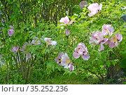 Пион кустарниковый (древовидный) (Paeonia  suffruticosa). Общий вид цветущих растений. Стоковое фото, фотограф Ирина Борсученко / Фотобанк Лори
