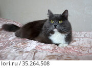 Пушистый серый кот лежит на кровати. Стоковое фото, фотограф Елена Коромыслова / Фотобанк Лори