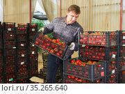 Farmer carries boxes with ripe tomatoes in the backyard. Стоковое фото, фотограф Яков Филимонов / Фотобанк Лори