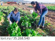 Multinational group of farm workers picking chard. Стоковое фото, фотограф Яков Филимонов / Фотобанк Лори