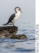 Pied cormorant (Phalacrocorax varius) standing on intertidal rocks, sea in background. Port Philip Bay shoreline, Sandringham, Victoria, Australia. Стоковое фото, фотограф Doug Gimesy / Nature Picture Library / Фотобанк Лори