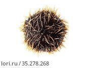 White sea urchin ( Tripneustes depressus ) Islas Marias Archipelago, Marias Biosphere Reserve, Mexico. Стоковое фото, фотограф Francisco Marquez / Nature Picture Library / Фотобанк Лори