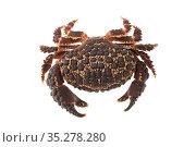 American Pebble Crab ( Daria americana ) on white background, Islas Marias Archipelago, Marias Biosphere Reserve, Mexico. Стоковое фото, фотограф Francisco Marquez / Nature Picture Library / Фотобанк Лори