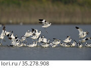 Avocets (Avosetta recurvirostra) flock in wetlands, Tainan, Taiwan. Стоковое фото, фотограф Staffan Widstrand / Wild Wonders of China / Nature Picture Library / Фотобанк Лори