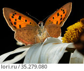 Small Copper butterfly (Lycaena phlaeas) resting Wales, UK. September. Стоковое фото, фотограф Andy Rouse / Nature Picture Library / Фотобанк Лори