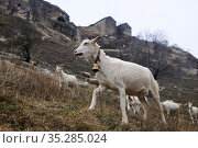 Goats graze on a mountainside against the backdrop of an abandoned medieval cave fortress on a cliff. Стоковое фото, фотограф Евгений Харитонов / Фотобанк Лори