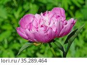 Цветущий розовый пион (лат. Paeonia) на фоне зелени крупным планом. Стоковое фото, фотограф Елена Коромыслова / Фотобанк Лори
