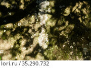Scale lichen on the surface of a natural stone in the shade of branches. Стоковое фото, фотограф Евгений Харитонов / Фотобанк Лори