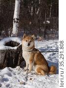 Сиба-ину возле заснеженного пня, зима, лес. Стоковое фото, фотограф Михаил Панфилов / Фотобанк Лори