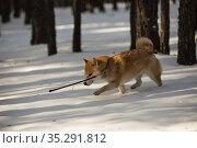 Сиба-ину бегущая по зимнему лесу. Стоковое фото, фотограф Михаил Панфилов / Фотобанк Лори
