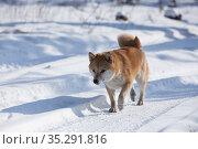 Сиба-ину идет по зимней дороге. Стоковое фото, фотограф Михаил Панфилов / Фотобанк Лори
