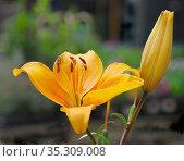 Yellow Lily, Lilium. Стоковое фото, фотограф Dariusz Gora / easy Fotostock / Фотобанк Лори