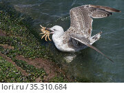 Great black-backed gull (Larus marinus) juvenile swimming to shore with a Spiny spider crab (Maja squinado) it has just caught on a very low spring tide, The Gower, Wales, UK, July. Стоковое фото, фотограф Nick Upton / Nature Picture Library / Фотобанк Лори