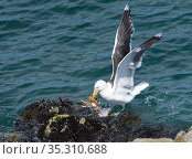 Great black-backed gull (Larus marinus) landing on a rocky shore with a Spiny spider crab (Maja squinado) it has just caught on a very low spring tide, The Gower, Wales, UK, July. Стоковое фото, фотограф Nick Upton / Nature Picture Library / Фотобанк Лори