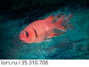 Crimson soldierfish (Myripristis murdjan) Green Island, Taiwan. Стоковое фото, фотограф Magnus Lundgren / Wild Wonders of China / Nature Picture Library / Фотобанк Лори