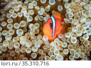 Tomato clownfish (Amphiprion frenatus) Green Island, Taiwan. Стоковое фото, фотограф Magnus Lundgren / Wild Wonders of China / Nature Picture Library / Фотобанк Лори