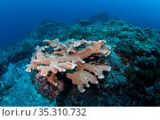 Elk horn coral (Acropora sp) Green Island, Taiwan. Стоковое фото, фотограф Magnus Lundgren / Wild Wonders of China / Nature Picture Library / Фотобанк Лори