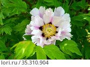 Крупный цветок пиона кустарникового (древовидного) (Paeonia  suffruticosa)ц. Стоковое фото, фотограф Ирина Борсученко / Фотобанк Лори