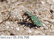 Green tiger beetle (Cicindela campestris) hunting on sandy heathland, Dorset, UK, July. Стоковое фото, фотограф Nick Upton / Nature Picture Library / Фотобанк Лори