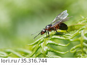 Wood ant (Formica rufa) winged queen preparing to take off from a Bracken frond, Dorset heathland, UK, May. Стоковое фото, фотограф Nick Upton / Nature Picture Library / Фотобанк Лори