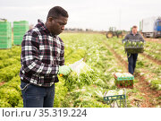 Afro-american farmer harvesting lettuce on plantation. Стоковое фото, фотограф Яков Филимонов / Фотобанк Лори