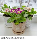 Цветущие разноцветные примулы (лат. Primula vulgaris) в горшках на подоконнике. Стоковое фото, фотограф Елена Коромыслова / Фотобанк Лори