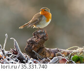 European Robin (Erithacus rubecula) displaying to another robin Wales, UK, January. Стоковое фото, фотограф Andy Rouse / Nature Picture Library / Фотобанк Лори