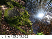 Dranse, Germany, tree stump in forest is overgrown with moss. Редакционное фото, агентство Caro Photoagency / Фотобанк Лори