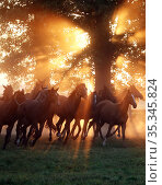 Gestuet Graditz, horses galloping on a pasture in the morning (2020 год). Редакционное фото, агентство Caro Photoagency / Фотобанк Лори