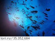 Big group of small fishes swim against surface. Стоковое фото, фотограф Сергей Новиков / Фотобанк Лори