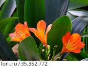 Clivia (Latin Clivia) - genus of perennial evergreen herbaceous plants. Стоковое фото, фотограф Irina Opachevsky / Фотобанк Лори