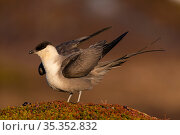 Long-tailed skua (Stercorarius longicaudus) stretching wings. Varanger, Norway. June. Стоковое фото, фотограф Erlend Haarberg / Nature Picture Library / Фотобанк Лори