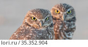 Burrowing owl (Athene cunicularia) pair, portrait. Marana, Arizona, USA. Стоковое фото, фотограф Jack Dykinga / Nature Picture Library / Фотобанк Лори