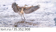 Great blue heron (Ardea herodias) landing in foaming water discharged from water treatment works into Sweetwater Wetlands. Tucson, Arizona, USA. 2020. Стоковое фото, фотограф Jack Dykinga / Nature Picture Library / Фотобанк Лори