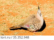 Crested pigeon (Ocyphaps lophotes). Watarrka National Park, Northern Territory, Austrlia. Стоковое фото, фотограф Enrique Lopez-Tapia / Nature Picture Library / Фотобанк Лори